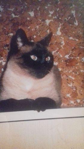 Oglądasz obrazki z tematu: Beżowo-brązowa kotka (podobna do syjamskiego) zaginęła na Piłsudskiego