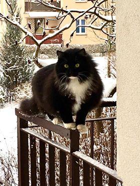 Oglądasz obrazki z tematu: Czarno biały puchaty kot zaginął na Pułaskiego