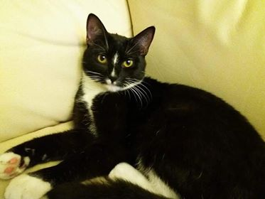 Oglądasz obrazki z tematu: Czarno biała kotka z paskiem na nosku znaleziona na ul. Warszawskie
