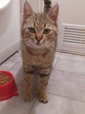 Oglądasz obrazki z tematu: Szary kotek/kotka znaleziony na ul. Batalionów Chłopskich
