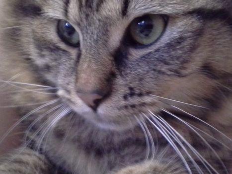 Oglądasz obrazki z tematu: Szarobury puchaty kot zaginął na Nowym Mieście