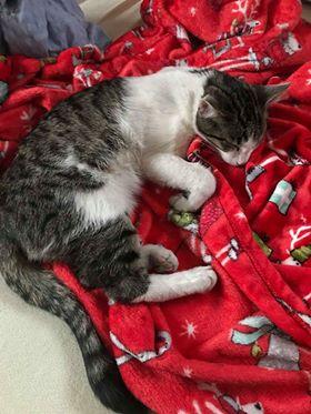 Oglądasz obrazki z tematu:  Szaro biały kotek ze Starosielc wrócił do domu