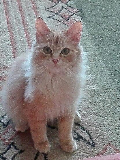 Oglądasz obrazki z tematu: Rudy puchaty kotek zaginą w ok Galerii Białej