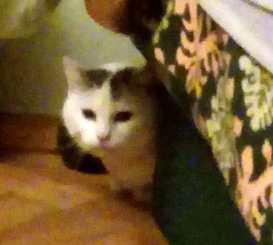 Oglądasz obrazki z tematu: Biało szary kot/kotka z Nowego Światu odnaleziony