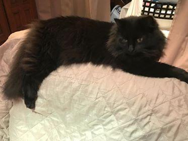 Oglądasz obrazki z tematu: Czarny puchaty kotek zaginął na ul. Pułkowej/Wasilkowskiej