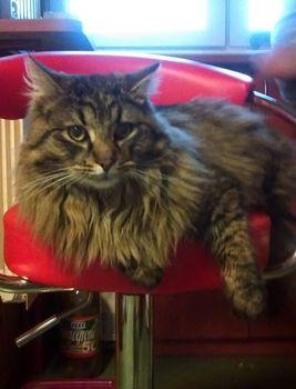 Oglądasz obrazki z tematu:  Szary puchaty kot z Supraśla odnaleziony