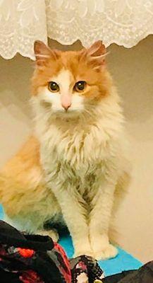Oglądasz obrazki z tematu: Biało ruda puchata kotka znaleziona na Fabrycznej