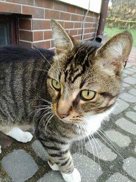 Oglądasz obrazki z tematu: Szaro biały kot/kotka przybłąkał się w Ogrodniczkach