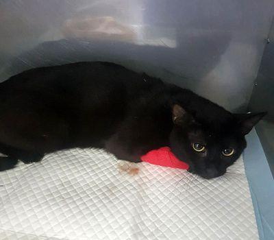 Oglądasz obrazki z tematu: Czarny kot/kotka znaleziony na Armii Krajowej wrócił do domu