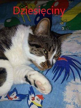 Oglądasz obrazki z tematu: Biało szary kot z os. Dziesięciny odnaleziony :)