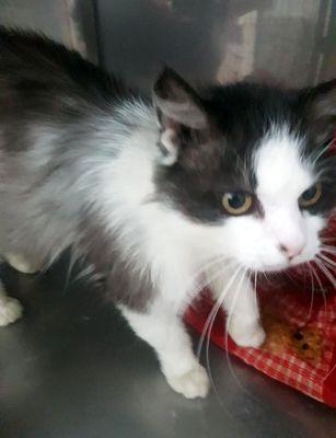 Oglądasz obrazki z tematu: Biało czarny puchaty kot został znaleziony na ul. Wiejskiej.