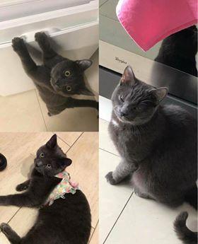 Oglądasz obrazki z tematu: Szaroniebieski kot zaginął w Bielsku