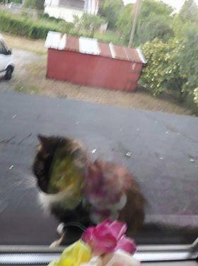 Oglądasz obrazki z tematu: Kotka tricolor (szylkret) błąka się po ul. Depowej (os Bema)