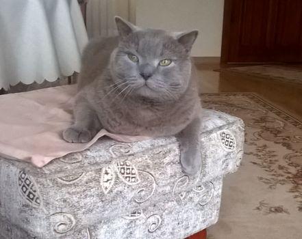 Oglądasz obrazki z tematu: Kot brytyjski zaginał na ul. Kołodziejskiej