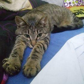 Oglądasz obrazki z tematu: Szara kotka zaginęła przy ul. Parkowej