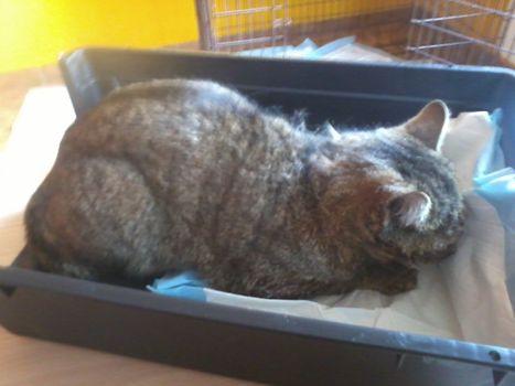 Oglądasz obrazki z tematu: Szary kot znaleziony w okol. ul. 42 Pułku