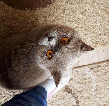 Oglądasz obrazki z tematu: Niebiski kot w typie brytyjczyka zn ul. Sokólskiej odnaleziony :)