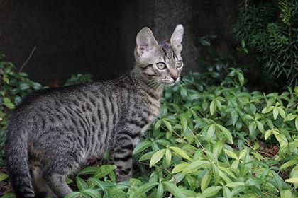 Oglądasz obrazki z tematu: Bury pręgowany kot zaginał na os. Wygoda