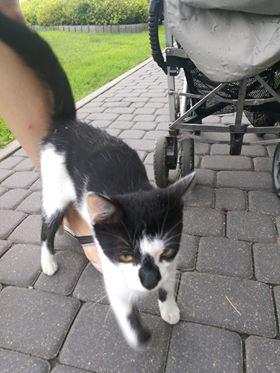 Oglądasz obrazki z tematu: Biało czarny kotek - kotka błaka się na Antoniukowskiej