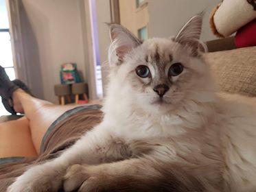 Oglądasz obrazki z tematu: Kremowa kotka syberyjska zaginęła w Choroszczy