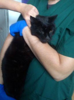 Oglądasz obrazki z tematu: Czarny kot znaleziony na Białostoczku