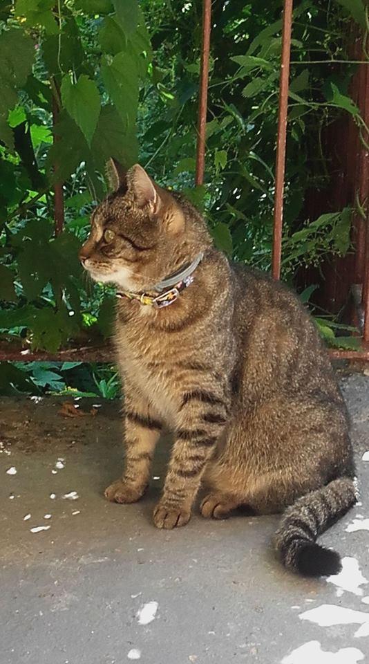 Oglądasz obrazki z tematu: Szara kotka z  ul. Wołodyjowskiego odnaleziona