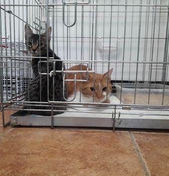 Oglądasz obrazki z tematu: Rudo biały i szary kot znalezione na Żeromskiego