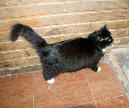Oglądasz obrazki z tematu: CZarna z białym puchata kotka zaginęła na  os Dojlidy