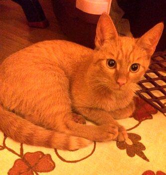 Oglądasz obrazki z tematu: Rudy młody kotek znaleziony na Hożej