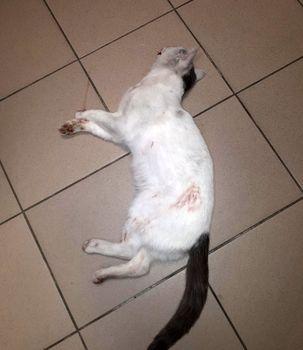 Oglądasz obrazki z tematu: PILNE!Biały kot z grafitowymi znaczeniami został zabrany ze Starosielc
