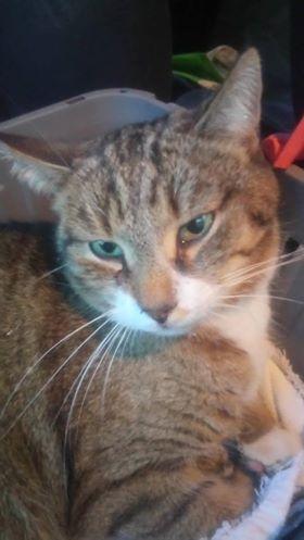 Oglądasz obrazki z tematu: Szary pręgowany kot w obroży znaleziony na ul. Ukośnej