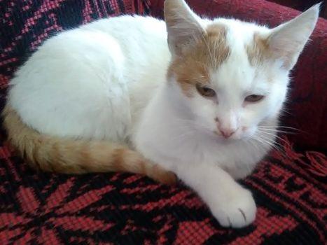 Oglądasz obrazki z tematu: Biało rudy kotek znaleziony na Bacieczkach