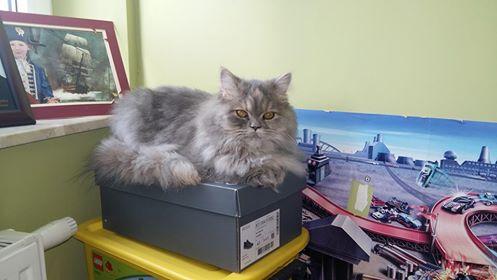 Oglądasz obrazki z tematu:  Szara długowłosa kotka w typie persa zaginęła na osiedlu Jaroszówka