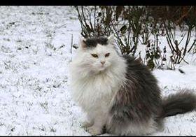 Oglądasz obrazki z tematu: Jasny puchaty kot zaginął na ul. Pogodnej