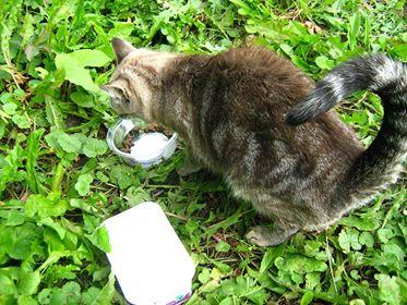 Oglądasz obrazki z tematu: Szara kotka w bengalskie wzory błaka się po Szkolnej
