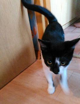 Oglądasz obrazki z tematu: Biało czarny kociak znaleziony na Warszawskiej