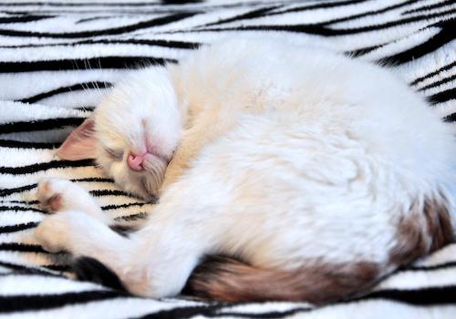 Oglądasz obrazki z tematu: Śnieżynka vel Coco - wyjątkowa kotunia czeka na cud