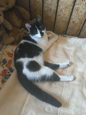 Oglądasz obrazki z tematu: Biało czarna kotka z  Hallera wrócliła do domu