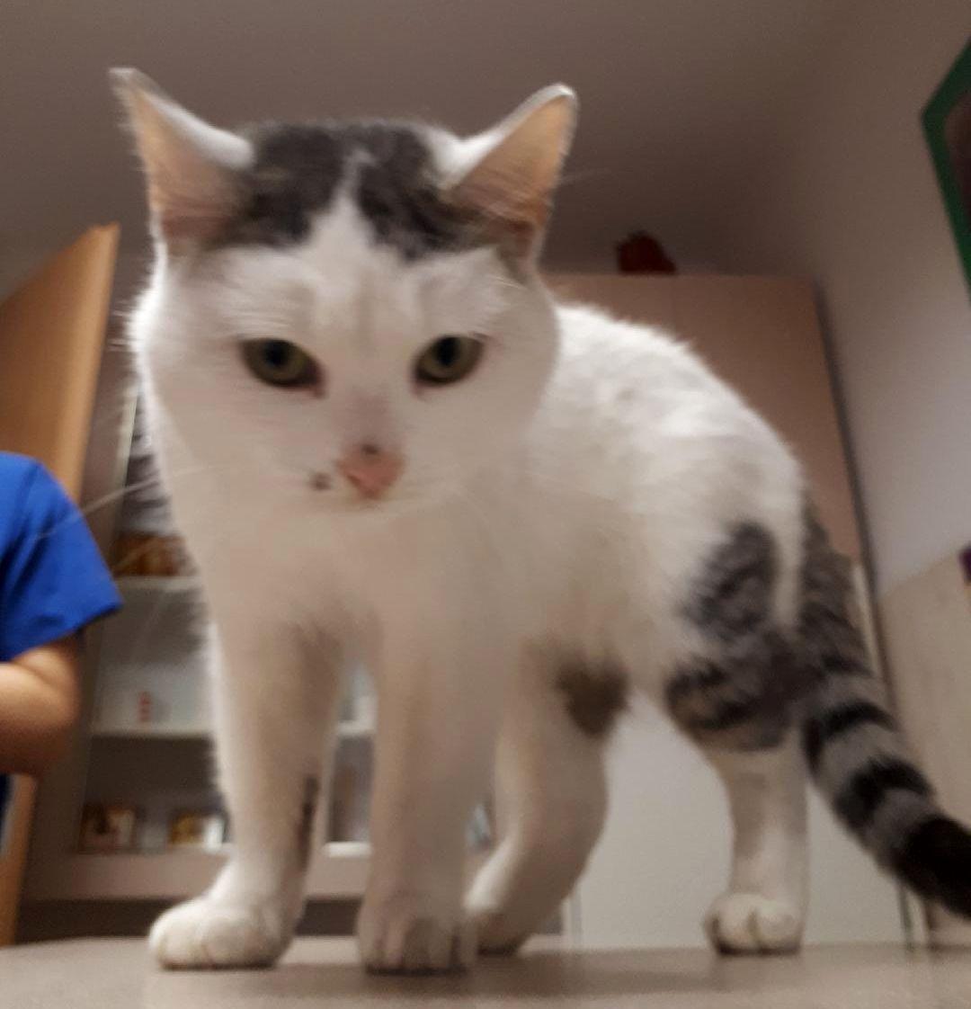 Oglądasz obrazki z tematu: Biało szara koteczka błąkała się k. Auchan na Produkcyjnej
