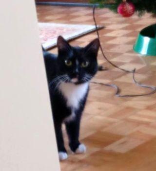 Oglądasz obrazki z tematu: Czarno biała kotka z ul. Jagiellońskiej w Bielsku odnaleziona
