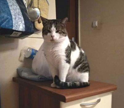 Oglądasz obrazki z tematu: Biało szary kot z ul. Gajnej w Wasilkowie odnaleziony