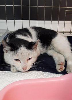 Oglądasz obrazki z tematu: Biało czarna kotka znaleziona przy Mickiewicza