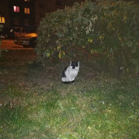 Oglądasz obrazki z tematu: Biało czarny kot błąka się po os. TBS