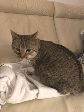 Oglądasz obrazki z tematu: Szary kot znaleziony na ul. Grottgera