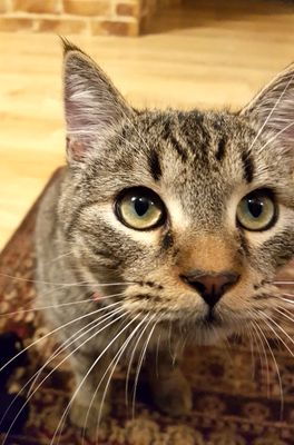 Oglądasz obrazki z tematu: Szary pręgowany kot znaleziony na Radzymińskiej