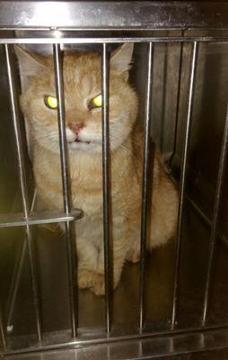 Oglądasz obrazki z tematu: Rudy kot  z ul. Świętokrzyskiej odnaleziony