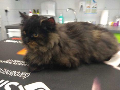 Oglądasz obrazki z tematu: Czarno ruda puchata kotka przybłąkała się na ul. Korczaka