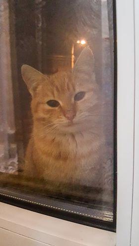Oglądasz obrazki z tematu: Rudy kotek błąka się po Starosielcach