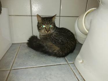 Oglądasz obrazki z tematu: Szary kot z puchatym ogonem znaleziony na ul. Sobieskiego