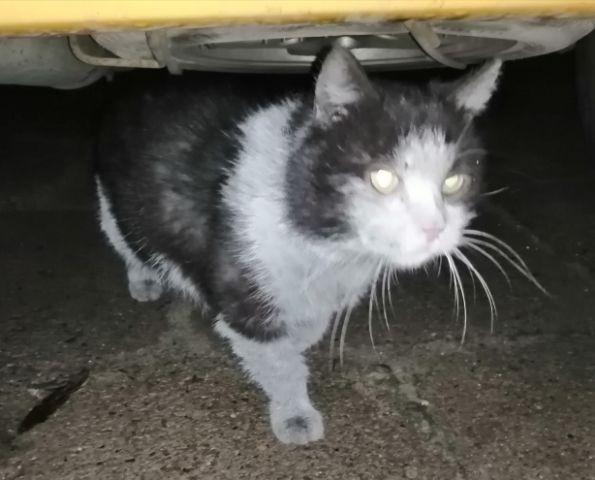 Oglądasz obrazki z tematu: Biało czarny puchaty kot/kotka błąka się w Starosielcach